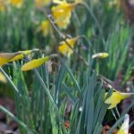 spring, daffodils