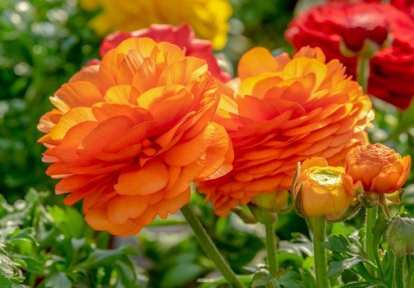 bouquet,  ranunculus, flower garden, nature